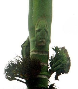 Drzewny Duch, czyli drzewo z naturalnie powstałą ludzką twarzą na korze
