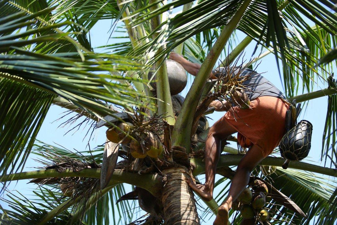 Lokalny mieszkaniec na palmie - dotarcie na szczyt zajęło mu max 10 sekund!