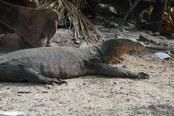 Takie jaszczury spotkacie na wyspach. Ale często też w dużych miastacg, wylegują się niedaleko rzek.