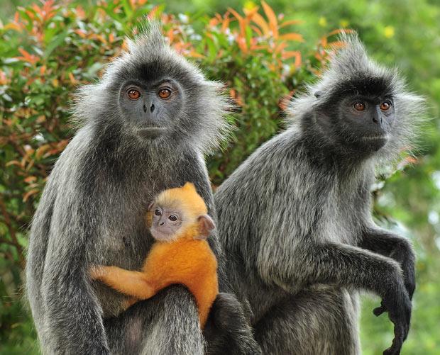 kuala-selangor-baby-orange-and-silver-mother-monkey_1