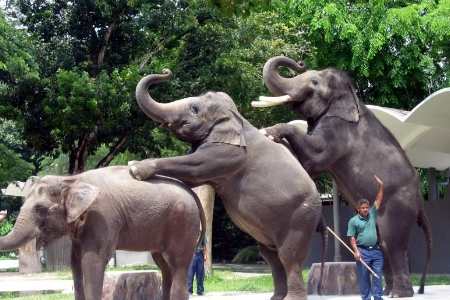 Absolutnie nieetyczne show we słoniami w ZOO w Kuala Lumpur
